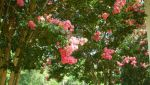 Blosssoms by kevin4