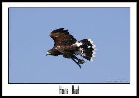Harris hawk by THEDOC4