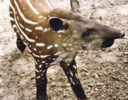 Young Tapir by annlo13