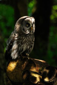 Dappled Owl edit.. by quaddie