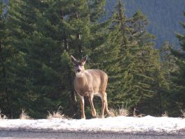 Female deer in the snow at Hurricane Ridge by VoyagerHawk87