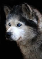 Kurt, the malamute by LissiKete