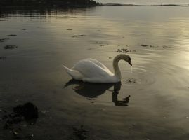 Swan -14 by LunaNYXstock
