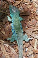 Ocellated Lizard by ZoPteryx