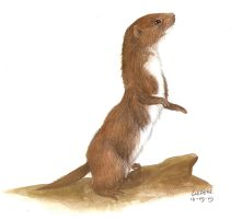 weasel by Liedeke