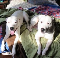 Two Pitbulls Laying Down by LastShotPhotography