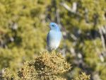 Mountain Blue Bird Male by ScreamingLama