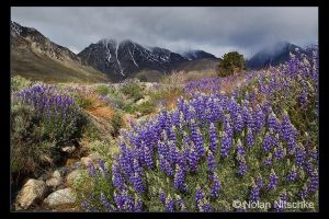 Eastern Sierra Lupine by narmansk8