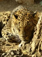 Sleeping Leopard by RexTull
