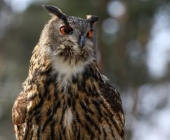 eagle owl_XX by deoroller