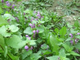 Purple Deadnettle? by KuznyaDragonOfBaa