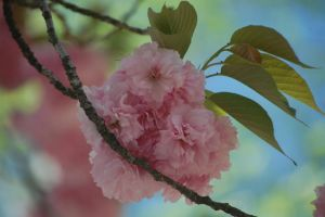 Cherry Blossom by Wandering-Soul7996