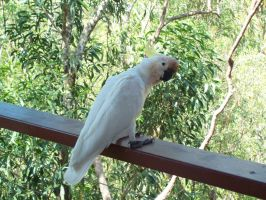STOCK - Cockatoo 010 by Chaotic-Oasis-Stock