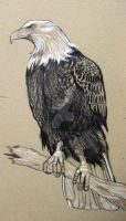 Bald Eagle Right Detail by HouseofChabrier