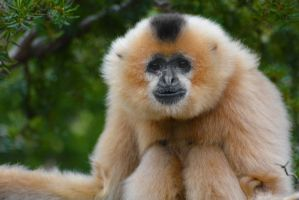 Buff Cheeked Gibbon by KrisVlad