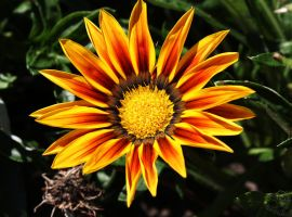 Fiery Red Gazania by Heart-Luck