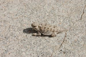 Horned Lizard Hatchling by Tyrannosaur17