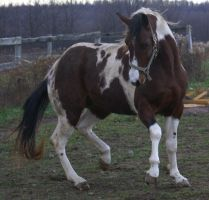 horse stock paint my stud by allabouthugh