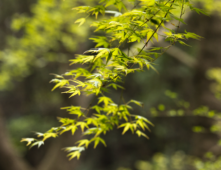 Japanese Maple by TimGrey