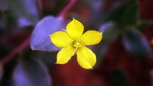 Yellowthorn by ElSpaZo