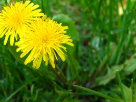 Dandy Lion by bluewave-stock
