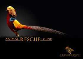Golden-Pheasant by Rozairo
