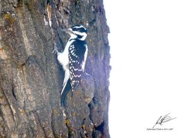 Female Hairy Woodpecker of Bowness by Sybaristail