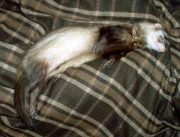 Celtic ferret -Sleeping Duncan by Illahie
