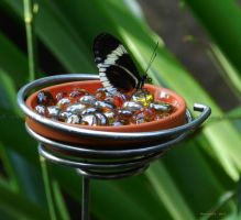 .butterfly on feeder. II by Foozma73