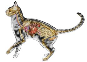 Gray Cat Composite Anatomy by JacquelineRae