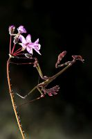flower mantis by lisans