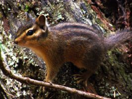 the chipmunk attack by kathan1