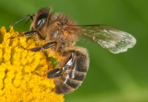 Bee (full size) by Picturebeast