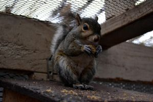 Eastern Gray Squirrel Eating Squirrel Chow by SquirrelRefuge