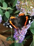 Red Admiral by Starlight-A7X