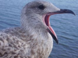 Seagull Yawning by SonARTic