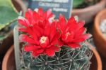 Vivid Red Chin Cactus 2 by Kihaku-Gato