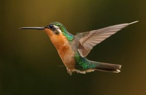 Life's a breeze - White-throated Mountain-gem fema by Jamie-MacArthur