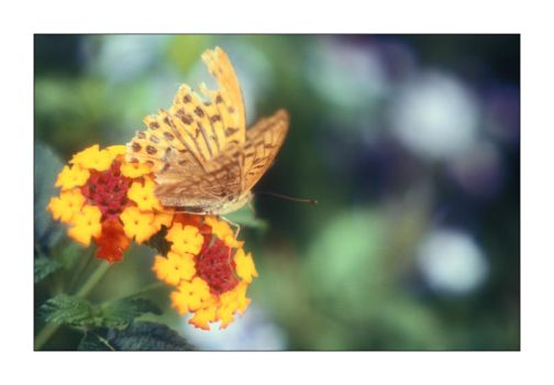Butterfly by tophyr