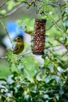 Greenfinch on Guard by Ellie-S
