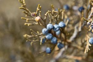 Juniper Berry 5 by OneLittlePixel