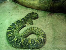 North American rattlesnake by 95Nightgirl