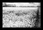 Fields of Gold BW by Twisted-Mike
