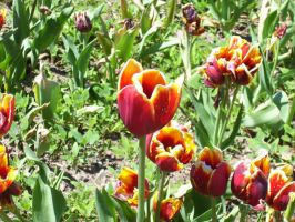 Tulips by Narzaria