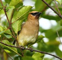 Cedar Waxwing profile II by natureguy