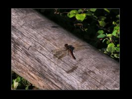 Dragonfly by Leitor