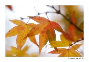 Autumn Maple Colors II by butterfly36rs