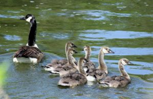 A family of geese. by sweatangel