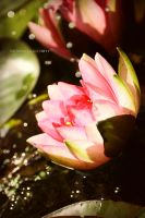 water lily by Bolygo