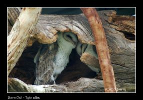 Barn Owls by AdamsWife